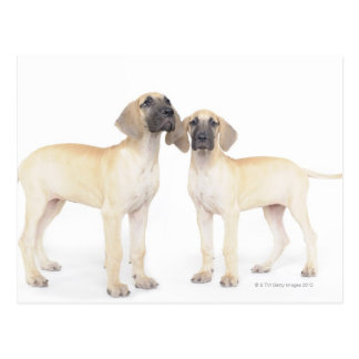 Zwei Deutsche Doggen Postkarte