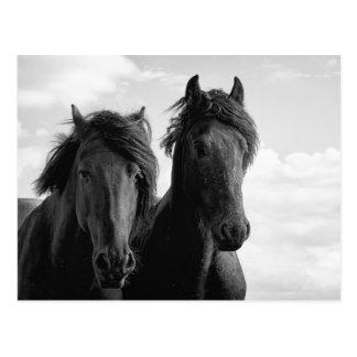 Zwei friesische Stallions. Postkarten