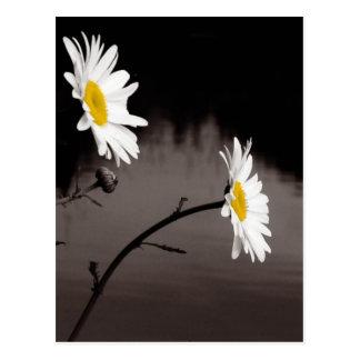 Zwei Gänseblümchen - selektive Farbe, Schwarzweiss Postkarte