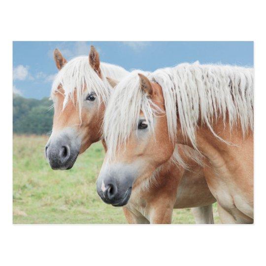 zwei Haflinger Postkarte