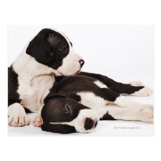 Zwei Harlekin-Dogge-Welpen Postkarte