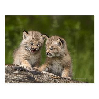 Zwei Kätzchen Kanada-Luchs-(Luchs Canadensis) Postkarte