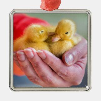 Zwei neugeborene gelbe Entlein, die an Hand sitzen Quadratisches Silberfarbenes Ornament