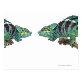 Zwei neugierige Panther-Chamäleone sind (Furcifer) Postkarte