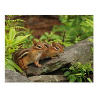 Zwei niedliche BabyChipmunks Postkarte