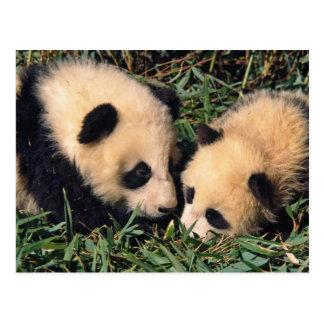 Zwei Pandajunge im Bambusbusch, Wolong, Postkarte