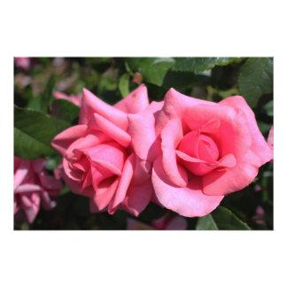 zwei perfekte Rosen-Blumen des heißen Rosas Liebe
