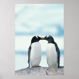 Zwei Pinguine, die Schnäbel berühren Plakatdruck