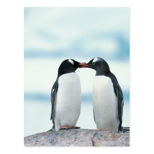 Zwei Pinguine, die Schnäbel berühren Postkarten