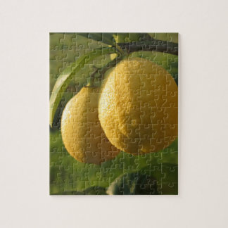 Zwei reife Zitronen, die am Baum hängen Puzzle