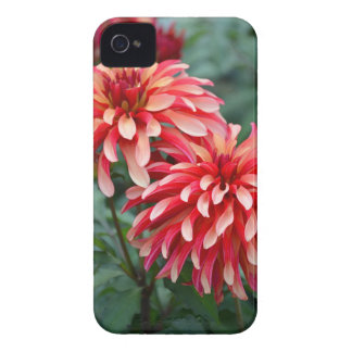 Zwei rosa Dahlie-Blumen iPhone 4 Case-Mate Hülle