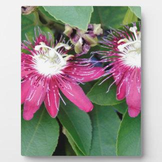 Zwei rote Leidenschafts-Blumen-Nahaufnahme draußen Fotoplatte