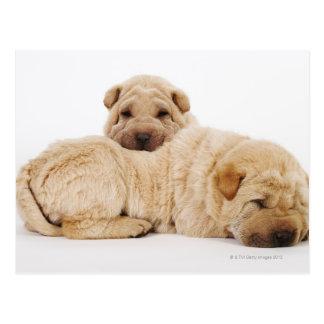 Zwei schlafende Shar Pei Welpen, Studioschuß Postkarte