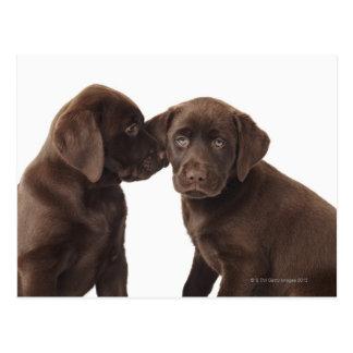 Zwei Schokolade Labrador retriever-Welpen Postkarte