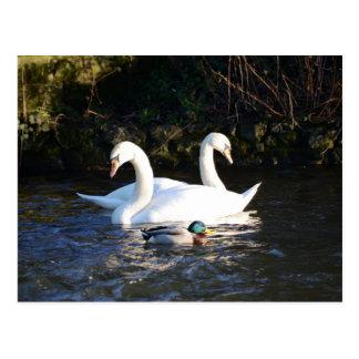 Zwei Schwäne und eine Ente Postkarte