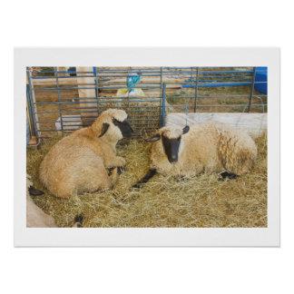 Zwei schwarze gegenübergestellte Schafe in einer Poster