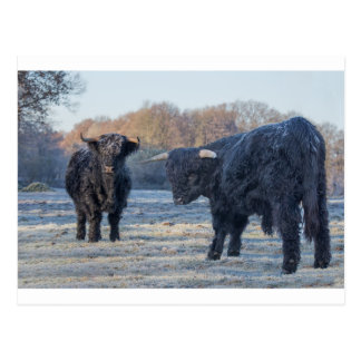 Zwei schwarze schottische Hochländer in gefrorener Postkarte