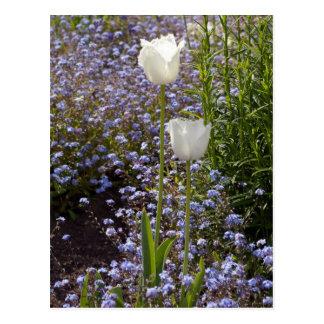 Zwei weiße Tulpen Postkarte